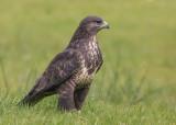Common Buzzard    Wales