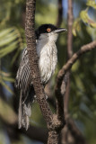 Northern Puffback
