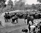 1913 - Traditional royal herding and corraling of wild elephants