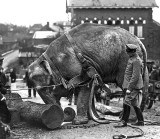 1915 - An elephant, from the Hamburg Zoo, used by the Germans