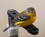 September 2016 - Visiting goldfinch