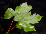 leaf come august.jpg