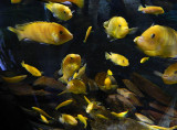 lemon chiclids.jpg