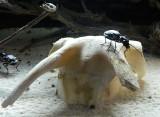desert beetle.jpg