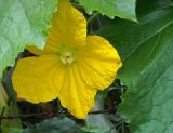 pumkin flower.jpg