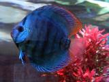 discus fish.jpg