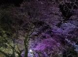 midnight blossoms.jpg