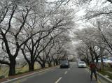 blossoms and skates.jpg