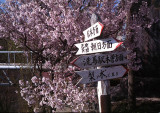 cherry blossoms and sign post.jpg