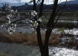 blossoms by the waterway.jpg