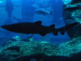 black shark.jpg