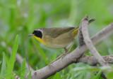 Common Yellowthroat  0413-1j  Galveston, TX