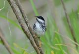 Blackpoll Warbler  0413-1j  Mustang Island, TX