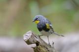 Yellow Rumped Warbler 0413-1j  Galveston, TX