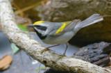 Golden-winged Warbler  0413-6j  Galveston, TX