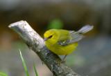 Blue Winged Warbler  0413-4j  Galveston, TX