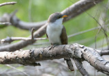 Yellow-billed Cuckoo  0413-2j  Mustang Island, TX