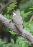 Yellow-billed Cuckoo  0413-5j  Mustang Island, TX