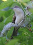 Black-billed Cuckoo  0413-5j  Galveston, TX
