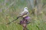 Scissor-tailed Flycatcher  0413-1j  Anhuac NWR, TX
