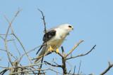 White-tailed Kite  0413-1j  Galveston, TX