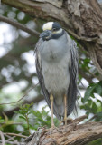Yellow-crowned Night Heron  0413-1j  mustang Island, TX