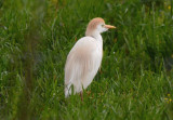 Cattle Egret  0413-1j  Anhuac NWR, TX