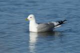 Mew Gull  0613-1j  Nome, AK