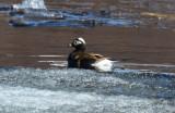 Long-tailed Duck  0613-1j  Teller Road, Seward Peninsula, AK