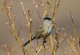 Golden Crowned Sparrow 0613-1j  Kougarok Road, Seward Peninsula, AK