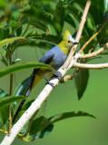 Long-tailed Silky-Flycatcher  0614-2j  Savegre