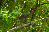 Crested Guan  0614-3j  Arenal