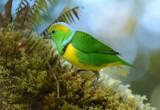 Golden-browed Chlorophonia  0114-1j  Paraiso Quetzal