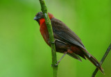 Red-throated Ant-Tanager  0614-1j  Selva Verde