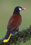 Montezuma Oropendola  0114-4j  Lugana del Lagarto