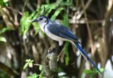 White-throated Magpie-Jay  0614-4j  Sarapiqui