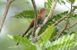 Squirrel Cuckoo  0114-1j  Laguna del Lagarto