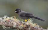 Yellow-thighed Finch  0114-1j  Savegre