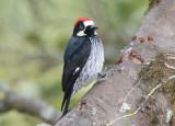 Acorn Woodpecker  0114-1j  Savegre