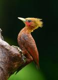 Chestnut-colored Woodpecker  0114-5j  Laguna del Lagarto