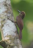 Northern Barred-Woodcreeper  0614-1j  Sarapiqui