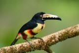 Collared Aracari  0114-8j  Laguna del Lagarto