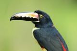 Collared Aracari  0114-9j   Laguna del Lagarto