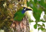 Emerald Toucanet  0614-5j  Savegre