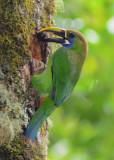 Emerald Toucanet  0614-6j  Savegre