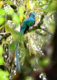 Resplendent Quetzal  0614-3j  Canyon Dota