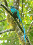 Resplendent Quetzal  0614-11j  Canyon Dota