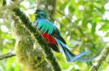 Resplendent Quetzal  0614-5j  Canyon Dota