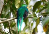 Resplendent Quetzal  0614-17j  Savegre