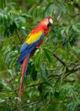 Scarlet Macaw  0114-1j  Sarapiqui